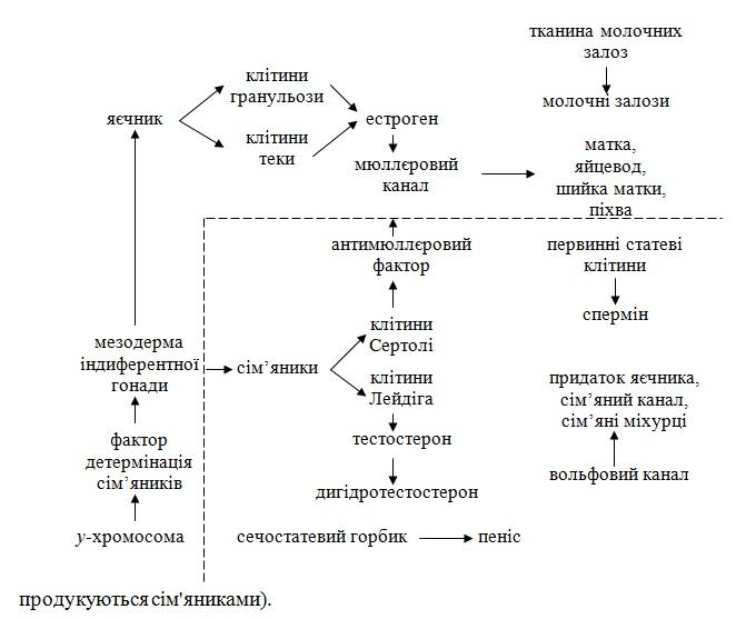 Формування фенотипів у ссавців