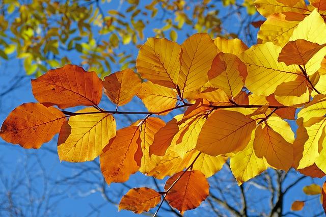 Осенний бал - желтые листья на осеннем дереве на фоне голубого неба